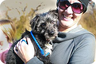 Miniature Schnauzer/Cairn Terrier Mix Puppy for adoption in Dallas, Texas - Ava