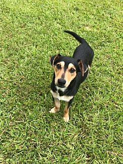 Dachshund/Basset Hound Mix Dog for adoption in Baton Rouge, Louisiana - Lizzie