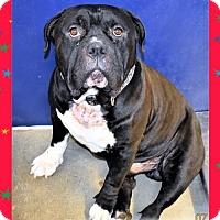 Adopt A Pet :: English Bulldog/Mastiff male X - San Jacinto, CA