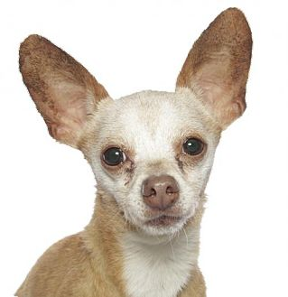 Chihuahua Dog for adoption in oakland park, Florida - Peter