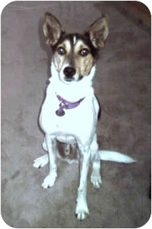 Jack Russell Terrier/Rat Terrier Mix Dog for adoption in Thomasville, North Carolina - Patric