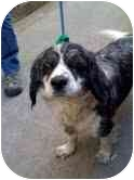 Cavalier King Charles Spaniel/Cocker Spaniel Mix Dog for adoption in Los Angeles, California - Ricky Lee