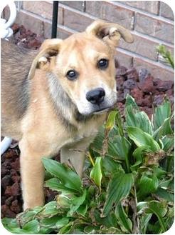 German Shepherd Dog Mix Puppy for adoption in Norwich, Connecticut - Schnitzel