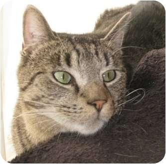 Domestic Shorthair Cat for adoption in bloomfield, New Jersey - Horace