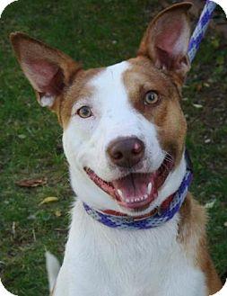 Border Collie/Australian Cattle Dog Mix Dog for adoption in Red Bluff, California - Polaris-URGENT