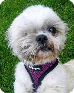 Shih Tzu Dog for adoption in Urbana, Ohio - Whiskey