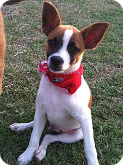Jack Russell Terrier Mix Puppy for adoption in Somers, Connecticut - Jacky