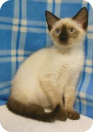 Siamese Kitten for adoption in Gary, Indiana - Lily