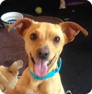 Chihuahua Dog for adoption in Marina del Rey, California - Mozart