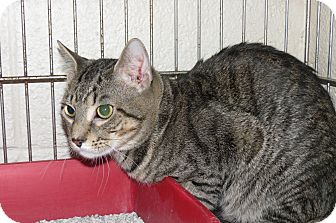 Domestic Shorthair Cat for adoption in Henderson, North Carolina - Stripe