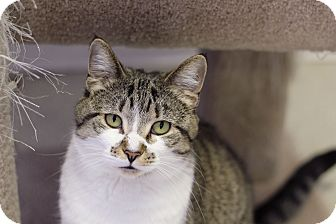 Domestic Shorthair Cat for adoption in Chicago, Illinois - Sitka