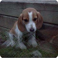 Adopt A Pet :: Lacy - CHESTERFIELD, MI