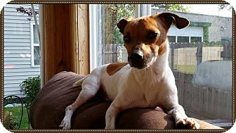 Jack Russell Terrier Mix Dog for adoption in China, Michigan - Charlie