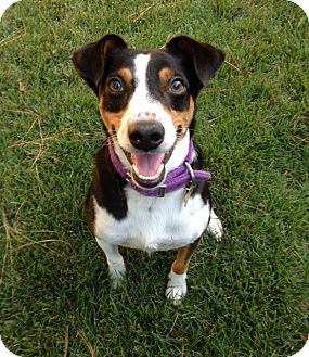 Beagle/Terrier (Unknown Type, Medium) Mix Dog for adoption in Mount Ida, Arkansas - Micah - the Happy Dog