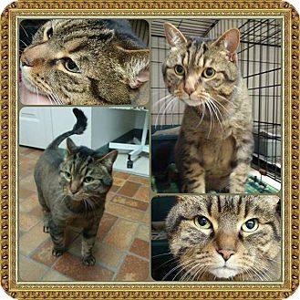 Domestic Shorthair Cat for adoption in THORNHILL, Ontario - DEMO