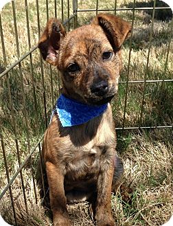 Chihuahua/Terrier (Unknown Type, Small) Mix Puppy for adoption in McKinney, Texas - Stout