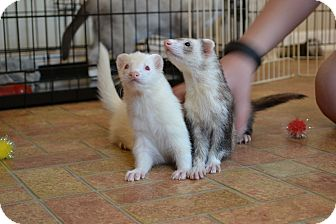 Ferret for adoption in Lexington, Kentucky - Walter&Ghost