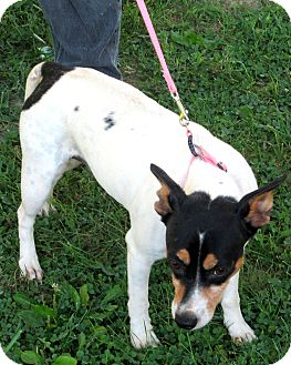 Rat Terrier Mix Dog for adoption in Olney, Illinois - Long Tail