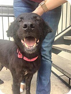 Labrador Retriever/German Shepherd Dog Mix Dog for adoption in Littleton, Colorado - RUHLA