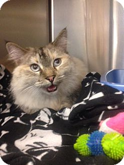 Siamese Cat for adoption in San Leandro, California - Luna