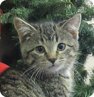 Domestic Shorthair Kitten for adoption in Lloydminster, Alberta - Cindy