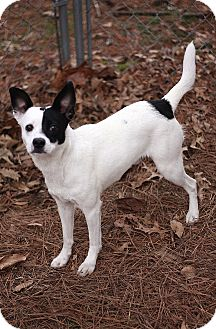 Terrier (Unknown Type, Small) Mix Dog for adoption in Murphysboro, Illinois - Darrin