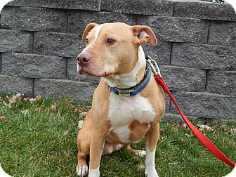 American Staffordshire Terrier/American Pit Bull Terrier Mix Dog for adoption in Cedar Rapids, Iowa - Sadie