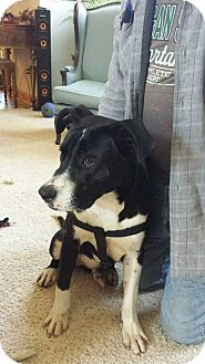 Border Collie Mix Dog for adoption in Laingsburg, Michigan - Clarence Carter
