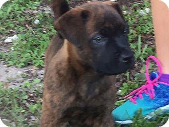 Boxer/Labrador Retriever Mix Puppy for adoption in Sanford, Florida - Wolfy
