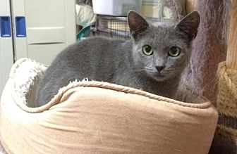Domestic Shorthair Cat for adoption in Melbourne, Florida - Molly M