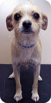 Chihuahua/Terrier (Unknown Type, Small) Mix Dog for adoption in Hinsdale, Illinois - ADOPTED!!!   Toni