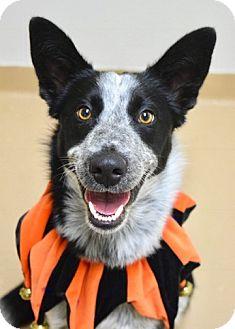 Border Collie Mix Dog for adoption in Dublin, California - Doofy