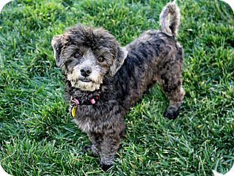 Poodle (Miniature)/Shih Tzu Mix Dog for adoption in Yorba Linda, California - Katie (and Tobie)