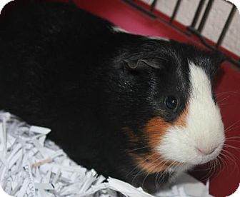 Guinea Pig for adoption in Clayton, New Jersey - PIPPIN