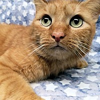 Domestic Mediumhair Cat for adoption in Princeton, New Jersey - Carlisle