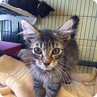 Adopt A Pet :: Mercury (TAS #10c 9/13) - Trenton, NJ