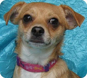 Chihuahua Mix Dog for adoption in Cuba, New York - Reina Puerto Rico
