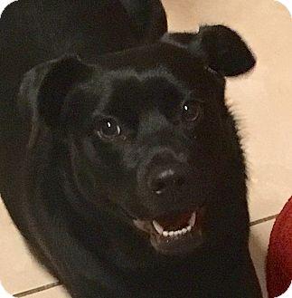Labrador Retriever/Retriever (Unknown Type) Mix Dog for adoption in Tamarac, Florida - Lily