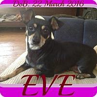 Adopt A Pet :: EVE - Jersey City, NJ