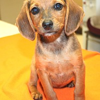 Adopt A Pet :: Licorice - Sparta, NJ