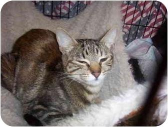 Domestic Mediumhair Kitten for adoption in San Diego/North County, California - Venus