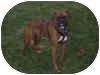 Boxer Dog for adoption in Sunderland, Massachusetts - Dozer
