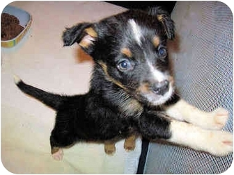 Border Collie/Mountain Cur Mix Puppy for adoption in Mahwah, New Jersey - Meiko