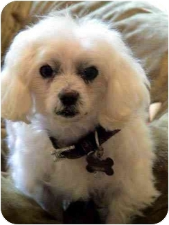 Maltese Mix Dog for adoption in Los Angeles, California - KENDALL