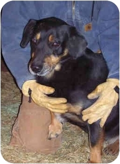 Black and Tan Coonhound Mix Dog for adoption in Fayetteville, Arkansas - Mac
