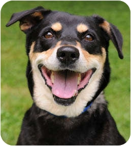 Shepherd (Unknown Type)/Shiba Inu Mix Dog for adoption in Chicago, Illinois - Lucy