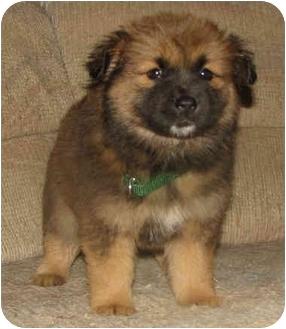 Golden Retriever/Chow Chow Mix Puppy for adoption in Brattleboro, Vermont - Dena