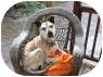 American Pit Bull Terrier Mix Dog for adoption in Salem, Oregon - Biscuit