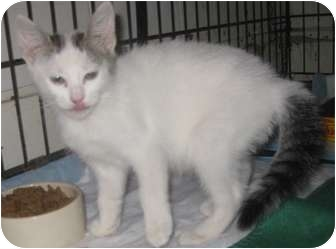 Turkish Van Kitten for adoption in Dallas, Texas - Siblings: Beauty and the Beast
