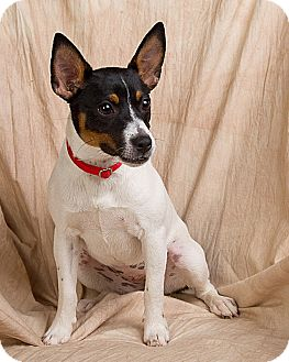 Rat Terrier Dog for adoption in Anna, Illinois - EVE